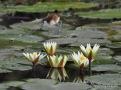 Baby Jacana on waterlily pads - Okavango Delta