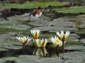 Baby Jacana on waterlily pads - Okavango Delta